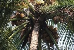 Coconut palm heavy with fruit