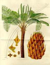 Form, leaves and reproductive structures of queen sago (Cycas circinalis)