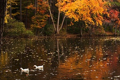 Ducks swimming at Durant Nature Reserve in the Fall