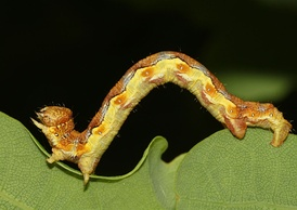 Гусеница пяденицы-обдирала в движении. Хорошо видно, что брюшных ног только две пары.