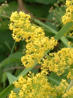 Galium verum (L.) Lady's Bedstraw, a typical English chalk downland plant