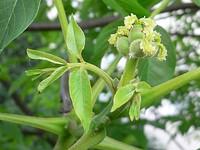 Juglans flower female 20050526 064 part.jpg