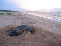 Leatherback sea turtle on the beach near the village of Galibi
