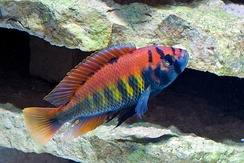 Unlike many other Lake Victoria cichlids, Haplochromis nyererei remains common.[31] Compared to several other cichlids, its eyes are particularly sensitive to light, especially red, which is less affected by the decrease in water clarity caused by eutrophication than short wavelength colors[32]