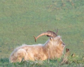 A big dirty goat with long curly horns rests in the long grass on top of a hill