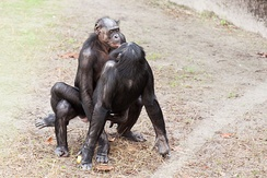 Bonobos mating, Jacksonville Zoo and Gardens.