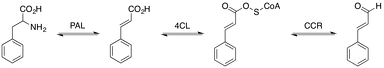 Pathway for the biosynthesis of trans-cinnamaldehyde.