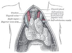 Тимус новорождённого: топография. Иллюстрация из «Анатомии» Грея