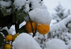 An orange tree covered and damaged from snow, in the Netherlands