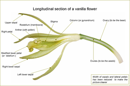 Longitudinal view of a vanilla flower, showing the column