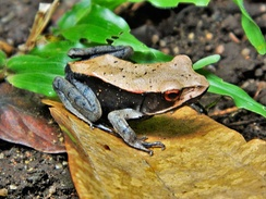 Bicolored frog (Clinotarsus curtipes) is endemic to the Western Ghats of India
