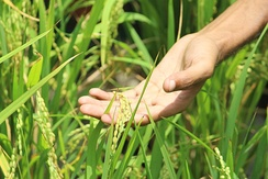 Human Hand touching paddy grains