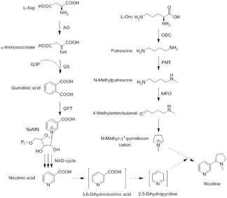 Nicotine biosynthesis