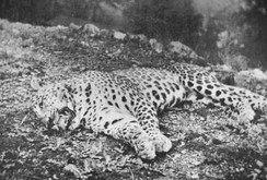 The Panar Leopard, shot by Jim Corbett in 1910 after allegedly killing 400 people