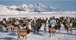 Elk wintering in Jackson Hole, Wyoming, after migrating there during the fall