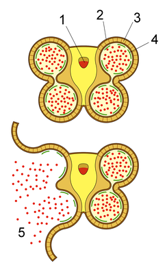 Section of anther, showing dehiscence and release of pollen (1: Vascular bundle 2: Epidermis 3: Fibrous layer 4: Tapetum 5: Pollen