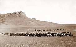 Cattle roundup near Great Falls, Montana, circa 1890