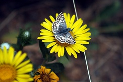 Common checkered-skipper, Pyrgus communis