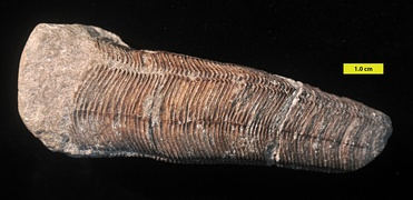 Conulariid from the Lower Carboniferous of Indiana.