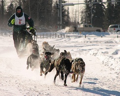 Man's best friend: dogsled racing in Alaska