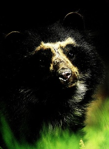 Ecuador is one of the most megadiverse countries in the world, it also has the most biodiversity per square kilometer of any nation, and is one of the highest endemism worldwide. In the image the Spectacled bear of the Andes.