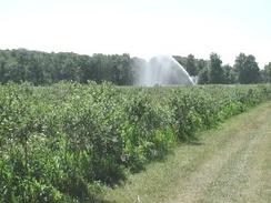 Sprinkler irrigation of blueberries in Plainville, New York, United States