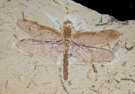 Отпечаток ископаемой стрекозы