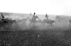 Rounding up cattle for the first Calgary Stampede in 1912. The Stampede is one of the world's largest rodeos.