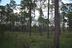 Restored, second-growth longleaf pine (Pinus palustris) savannah at USM's Lake Thoreau Environmental Center, located along the rails-to-trails Longleaf Trace which passes behind the Century Park dormitories
