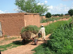 A farmer collecting millet in Koremairwa village in the Dosso department.