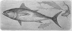 Старинная гравюра с изображением обыкновенного тунца (1892)