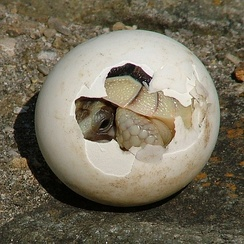 "A baby tortoise begins to emerge ""fully developed"" from its macrolecithal egg."