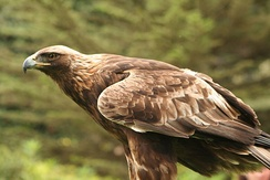 Golden eagles are readily distinguished by their brown plumage, paler than most other Aquila, and pale nape patch