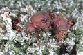 Матка муравьёв-листорезов Atta mexicana около грибницы вместе с мелкими с рабочими
