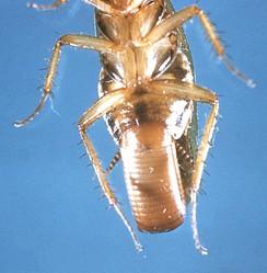 Оотека на брюшке таракана