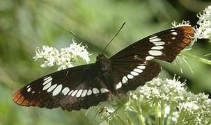 Бабочка — Насекомые