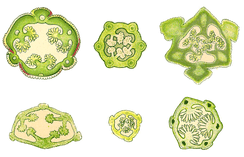 Cross-sections of orchid capsules showing the longitudinal slits