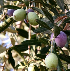Olives were one of ancient Israel's most important natural resources