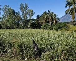 Поле сорго в Центральной Америке