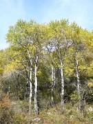 Ясень Обыкновенный в горах Заилийского Алатау в октябре.JPG