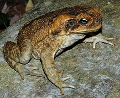 Introduced cane toads threaten native species