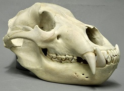 Skull of brown bear has large pointed canines for killing prey, and self-sharpening carnassial teeth at rear for cutting flesh with a scissor-like action