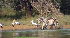 Attacking a Burchell's zebra in Kruger National Park, South Africa
