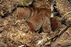 Young bank voles in their nest beneath a wood pile