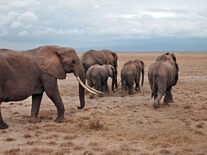 African elephants form the genus Loxodonta, a widely accepted taxon.