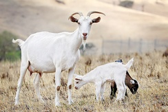 Goat kids stay with their mother until they are weaned.