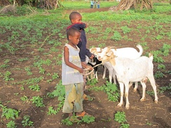 Goats are an important part of the solution to global food security because they are fairly low-maintenance and easy to raise and farm.