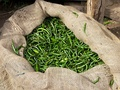 Fresh Indian green chillies in Bangalore market