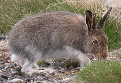 A mountain hare (Lepus timidus) in Findhorn Valley, May 2004