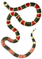 Eastern coral snake, itself a predator, is venomous enough to kill predators that attack it, so when they avoid it, this behaviour must be inherited, not learnt.